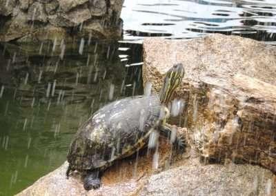 Turtle in Belize